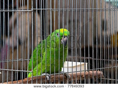 Big Green Parrot (amazona)
