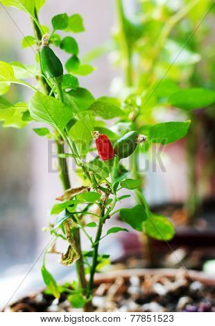 Cultivation Of Red Chili Pepper On A Windowsill