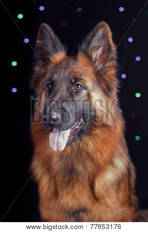Portrait of a German Shepherd on black background with bokeh
