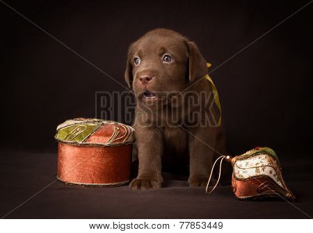 Chocolate labrador puppy sitting on a brown background