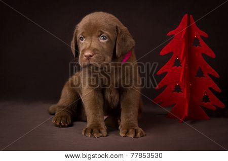 Chocolate labrador puppy sitting on brown background near the Christmas tree