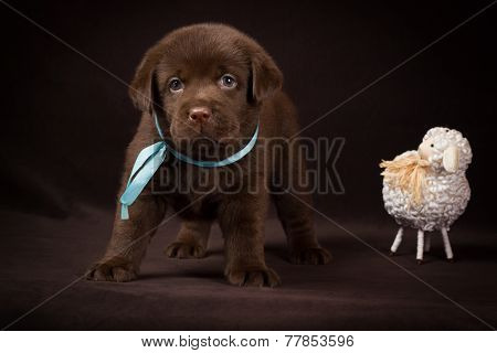 Chocolate labrador puppy standing next to white decorative sheep on a brown background.