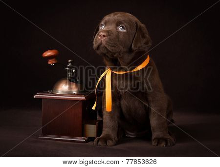 Chocolate labrador puppy sitting on brown background near wooden coffee grinder and looking up