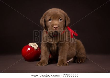 Chocolate labrador puppy sitting on a brown background near red apples and looking   to the camera