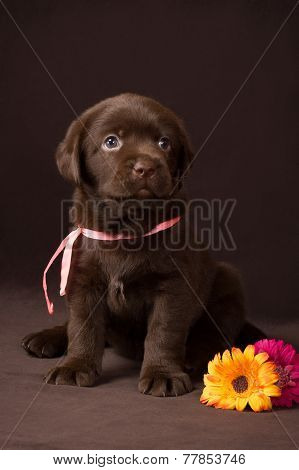 Chocolate labrador puppy sitting on brown background near flowers and looks at the top