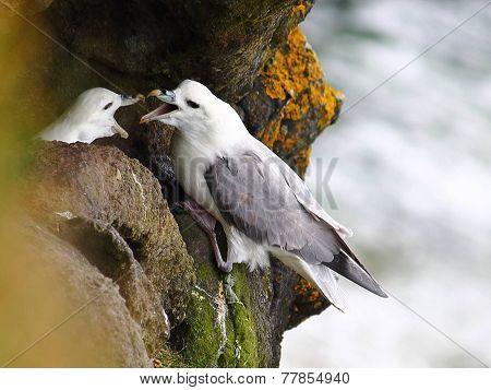 Northern Ireland nesting Gulls