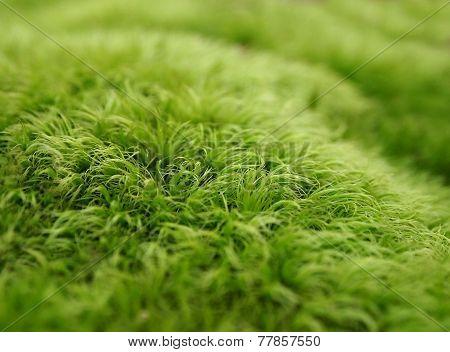 Green Moss Macro Background
