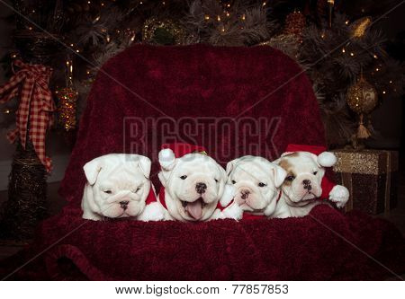 Four bulldog puppies at Christmas