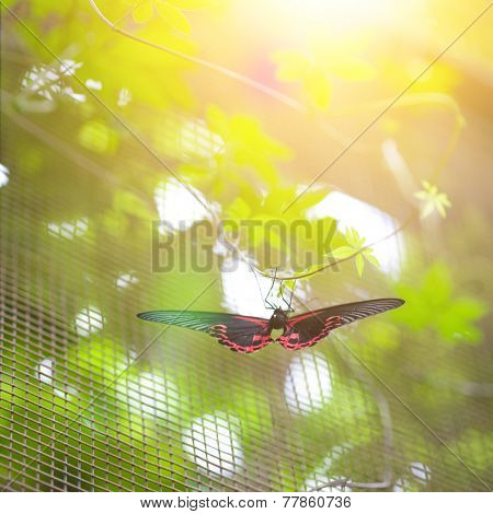 Scarlet mormon butterfly ( papilio rumanzovia ) resting on a twine in the evening sun