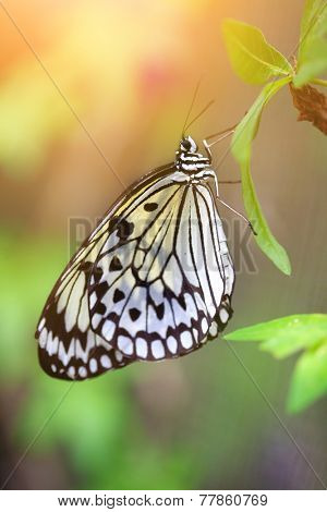 Beautiful paper kite butterfly (tree nymph)  resting on a green leaf