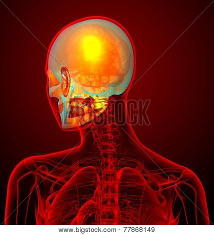 3D Render Medical Illustration Of The Human Sull