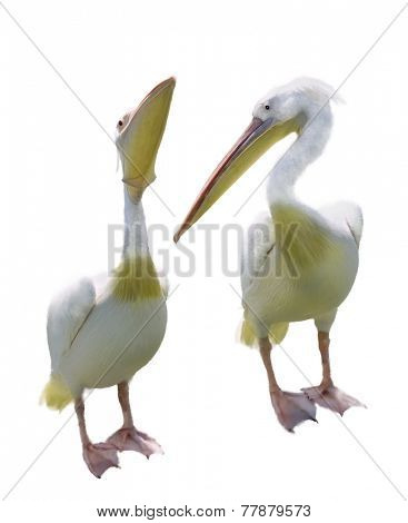 Digital Painting Of Two White Pelicans