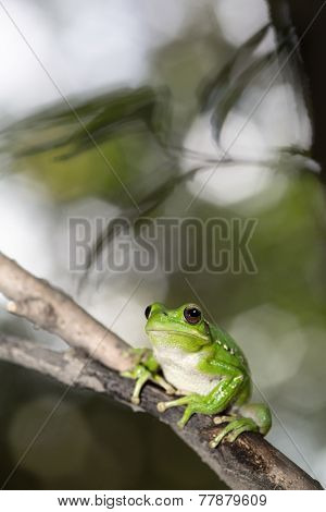 treefrog hypsiboas riojanus exotic and tropical tree frog from the Andes in Bolivia