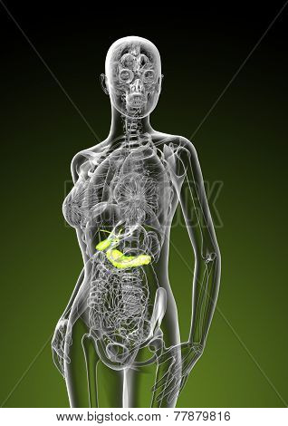 3D Render Illustration Of Female Gallbladder And Pancreas