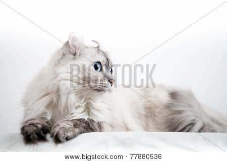 White American Curl Cat With Pointed Color Fur