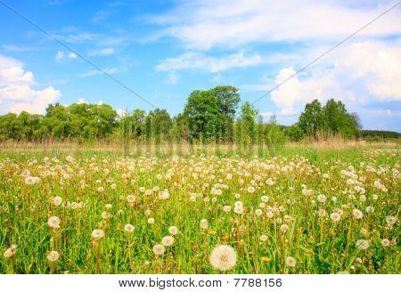 White Dandelions In A Grass