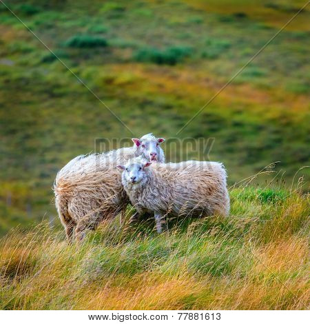 Two free range sheep in Northwestern Iceland