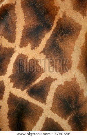 Giraffe real skin background pattern