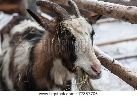 Goat Eating Hay Over The Fence