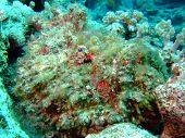 stock photo of devilfish  - Stonefish - JPG