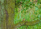stock photo of chipmunks  - A Chipmunk perched on a moss covered cottonwood tree at the edge of a swamp - JPG