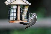 picture of woodpecker  - Arizona Woodpecker (Picoides arizonae) also known as Strickland