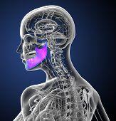 stock photo of jaw-bone  - 3d render medical illustration of the jaw bone  - JPG