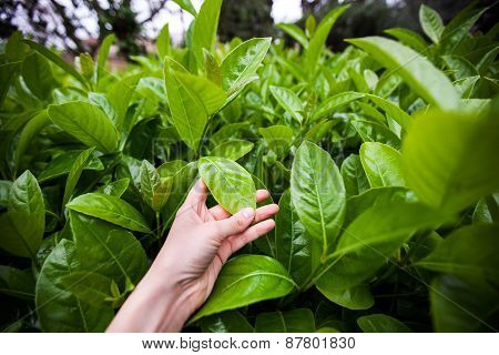 woman hand holding fresh green leaves
