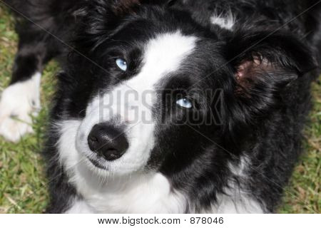 Black_Border_Collie_8517