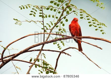 Scarlet Tanager, a birds of North America