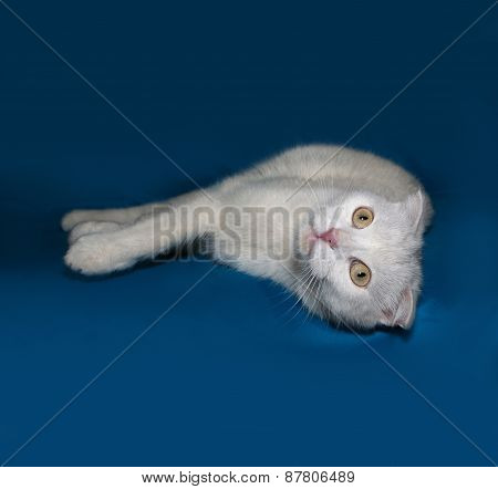 White Cat Scottish Fold Lies On Blue