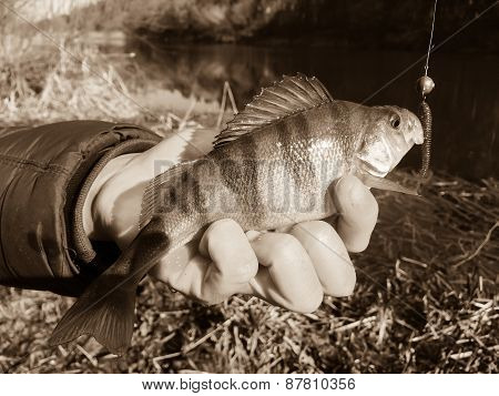 Freshly caught perch in the hands of the fisherman.