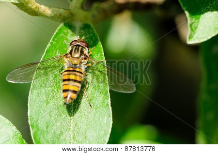 Hoverfly in Shanghai