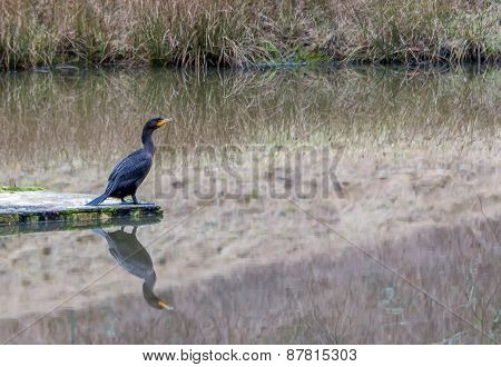 Cormorant On A Pond Contemplating The Mild Winter