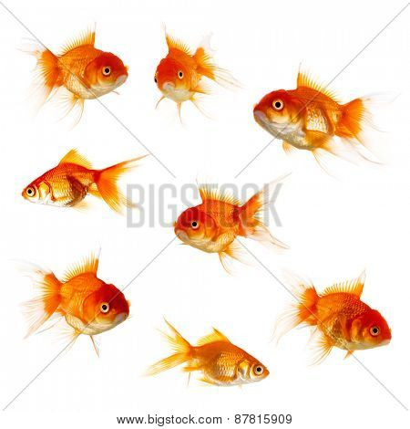 Set of Gold fish isolated on white background