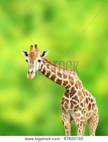 Giraffe on green background