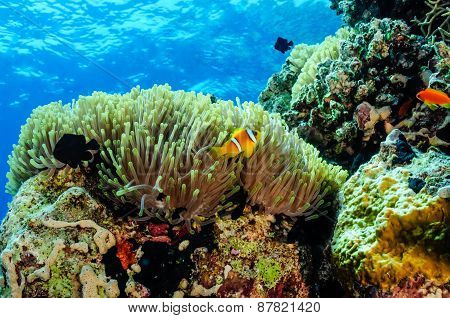 Anemone with clownfish