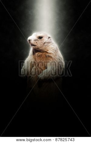 Close Up of Marmot Standing on Hind Legs Illuminated in Bright Spotlight on Dark Background