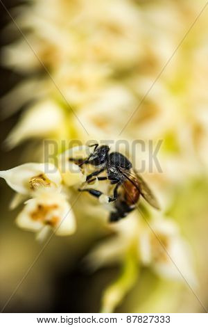 Little Bee On Betel Plam Flower
