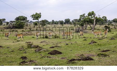 Antelopes In Masai Mara National Park.