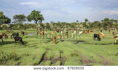 Cows In Masai Mara National Park.