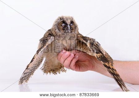 Bird Owl Sleeps