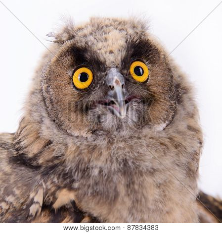 Bird Owl Isolated