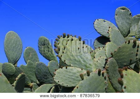 Prickly pear cactus (opuntia ficus-indica, also known as Indian fig opuntia, barbary fig, spineless cactus, cactus pear)