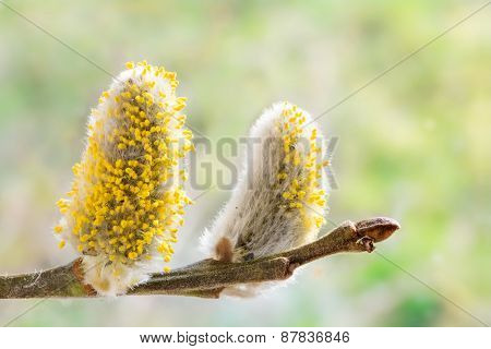 Pussy Willow Catkins With Yellow Pollen At A Willow Branch