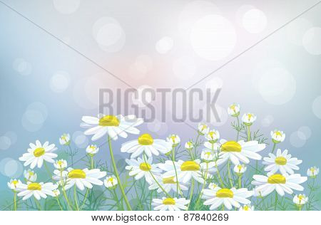 Vector white chamomiles flowers.