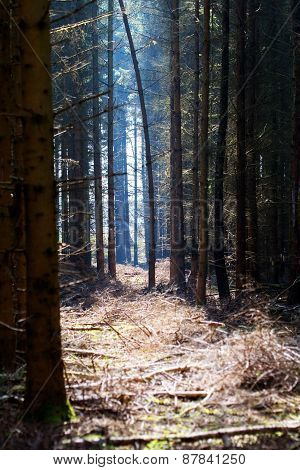 View In A Dark Forest With Conifers