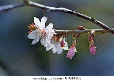 Close Up Of The First  Cherry Blossoms, Prunus Subhirtella