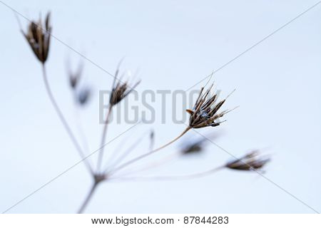Delicate Inflorescence Of An Overblown Umbelliferae