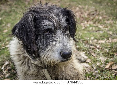Portrait of romanian mioritic sheepdog over nature background